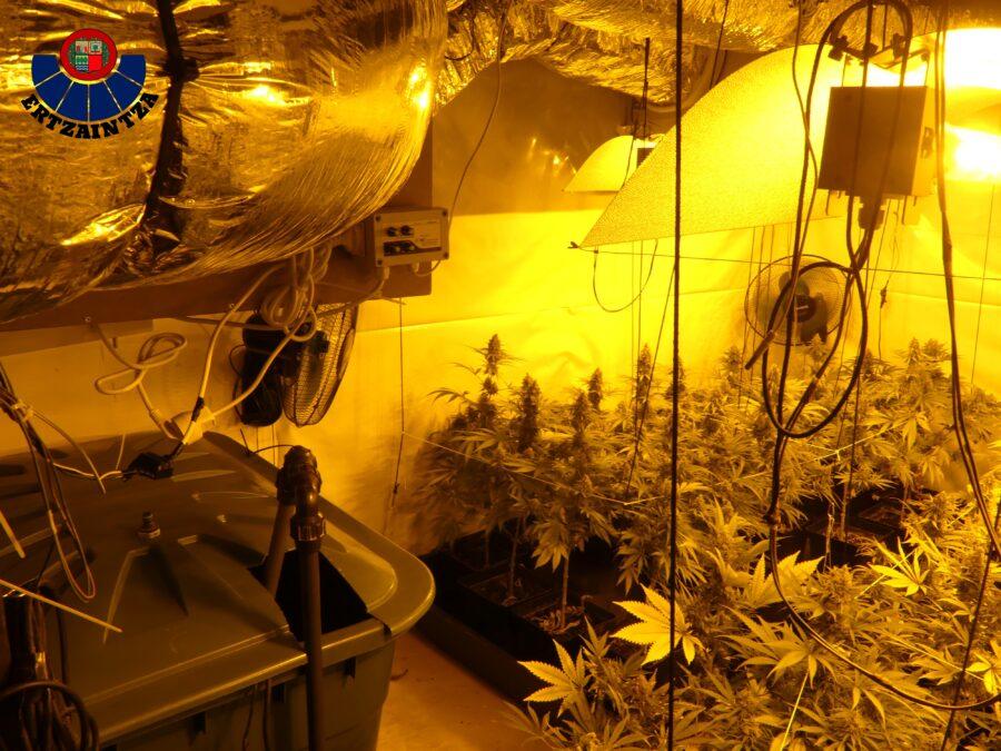 marihuana landareak